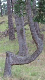 J-Tree
